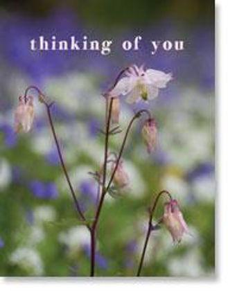 Picture of Soft aqualegia flowers